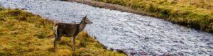 hunting deer standing riverside